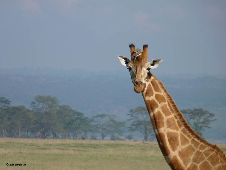 girafe-fb